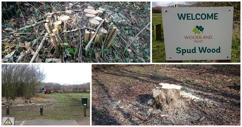 Coppicing by Holly Oak Tree Services, Warrington